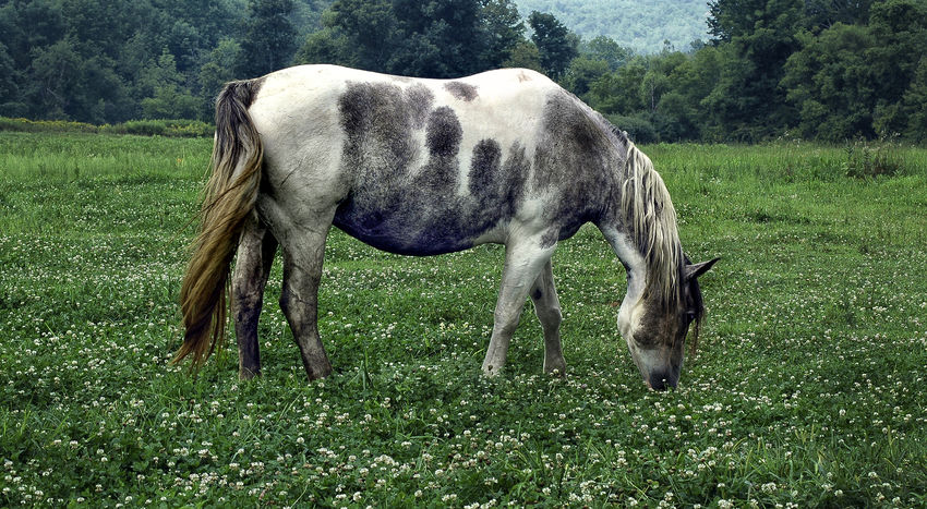 Horse grazing in a field of clover Clover Eating Pasture White Horse Animal Themes Beauty In Nature Carefree Clover Flower Cloverleaf Day Domestic Animals Field Grass Grazing Green Field Horse Horse Grazing Horse Tail Landscape Livestock No People One Animal Outdoors Pasture Landscape Rural Scene
