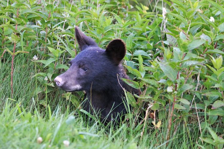 Black Bear in Great Smokey Mountain National Park Plant Animal Mammal Animal Themes One Animal Grass Green Color Land Nature Field Animal Wildlife Vertebrate No People Growth Animals In The Wild Day Outdoors Black Color Black Bear Great Smokey Mountain National Park