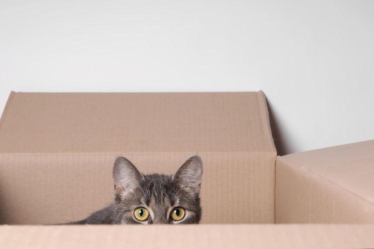 Box Cardboard Box Cat Copy Space Curiosity Eyes FUNNY ANIMALS Hiding Kitten Peeking Pets Tabby