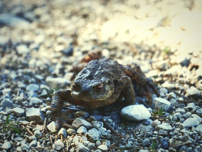 Toad Frosch