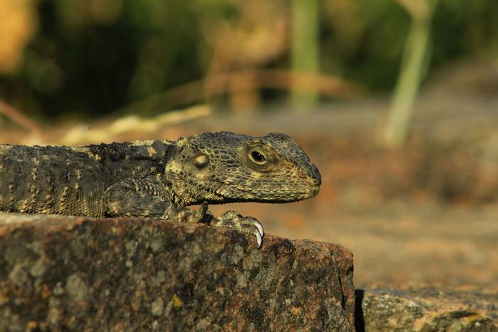 Animal Animal Head  Animal Photography Animals Animals In The Wild Beauty In Nature Close-up Focus On Foreground Lizard Nature Nature Photography Nature_collection Outdoors Selective Focus Wildlife Reptile Nature Diversities Bokeh Temple Of Demeter Sangri Naxos Greece