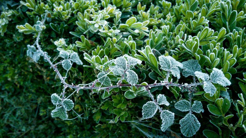 Mañana Helada Nature Plant Escarcha Hoarfrost Helada Frosty Mornings Frost Frosty Plant Ice