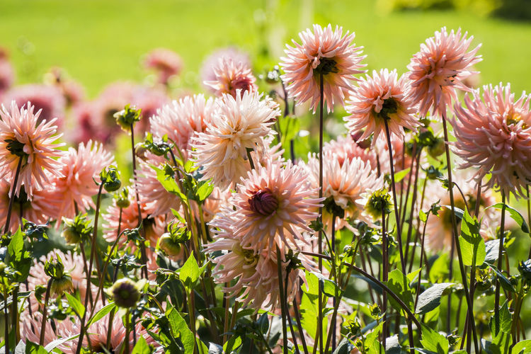 Close-up of pink dahlias blooming outdoors