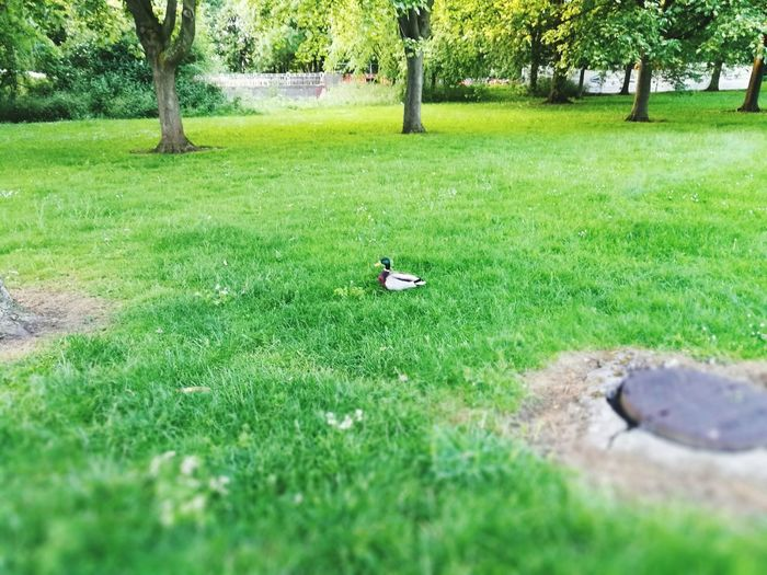 Mightly Duck of New Bradwell Grass Green Color Nature Day Outdoors Field Growth Tree No People Beauty In Nature Duck Miltonkeynes Milton Keynes Live For The Story