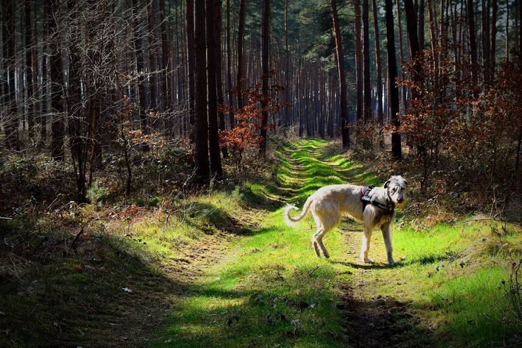 Taking Photos Check This Out In The Forest Wood A Walk In The Woods Tree_collection  Blair Witch Project Dogslife How's The Weather Today? Irish Wolfhound Cearnaigh Dog Of My Life Dog❤ Love My Dog  Dogs Of EyeEm Dogwalk Today Dog Walking Dog Of The Day The Places I've Been Today Enjoying Life Love To Take Photos ❤ Spring 2016 2016 Altmark Irishwolfhound