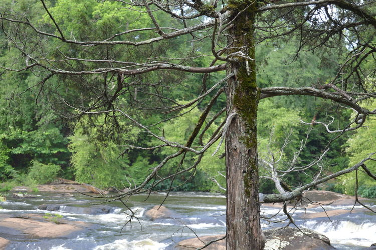 Just a dying tree near the river Amateurphotography Downtoatlanta Dyingtree Forsyth Nature River Rocks Tree Woods