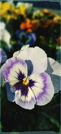Violet Violet Violet Flower Heartsease Flower Head Flower Petal Close-up Plant Blossom