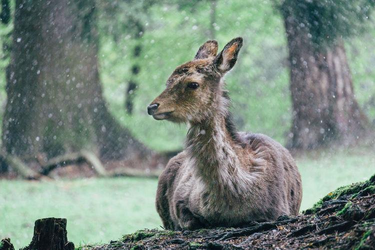 Deer relaxing on field during rainy season