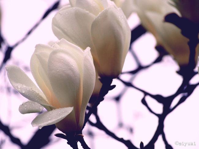 Magnolia Flowerporn EyeEm Nature Lover Magnolia-report-2015 Spring