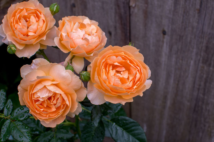 Delicate peach roses create a beautiful still life, growing against a rustic wood wall