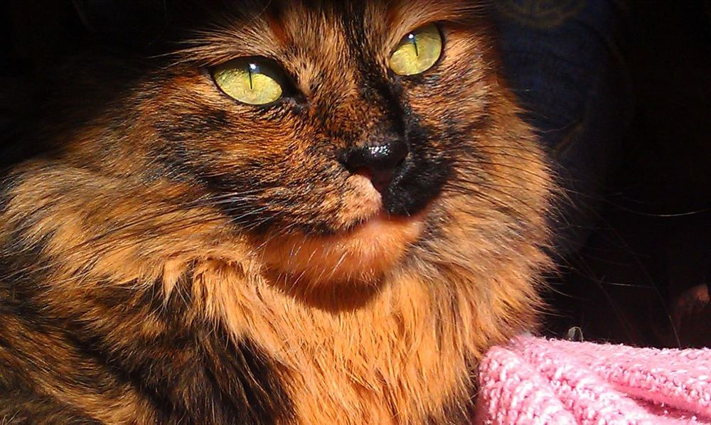 Cat Model Cat Portrait Cats In The Sun Green Eyed Cat Multicolored Close Up Patience ContentmentTortoiseshell Cat Yellow Eyed Cat Color Contrast Cat Photography Best Of EyeEm EyeEm Gallery Purr-sonality Cat Eyes Animal Head  Longhaired Cats Wisdom Pets Thoughtful
