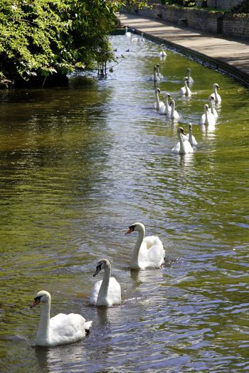 A flotilla of swans glide down the river in the morning sunshine Animal Themes Animal Wildlife Animals In The Wild Beauty In Nature Bird Day Elegance In Nature Lake Large Group Of Animals Nature No People Outdoors Reflection Swan Swimming Tree Water Water Bird Waterfront Windsor, UK