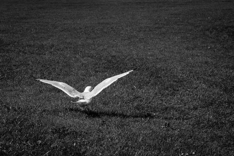 Swan flying in field