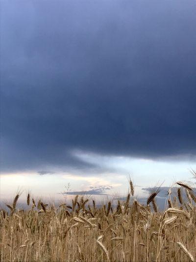 Crops growing on field against sky