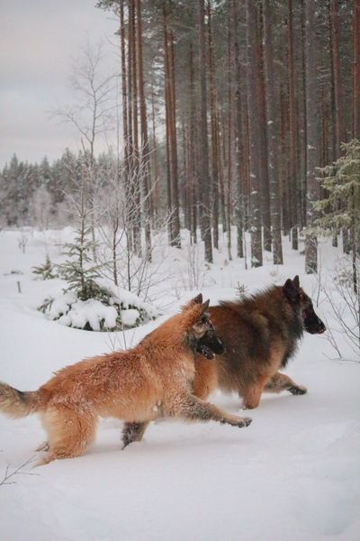 EyeEm Ready   Winter Snow Cold Temperature Animal Themes Nature Beauty In Nature Forest Dog Outdoors Pets Landscape Finland Beauty In Nature Lapland Belgian Shepherd Tervueren Snow ❄ Winter The Traveler - 2018 EyeEm Awards