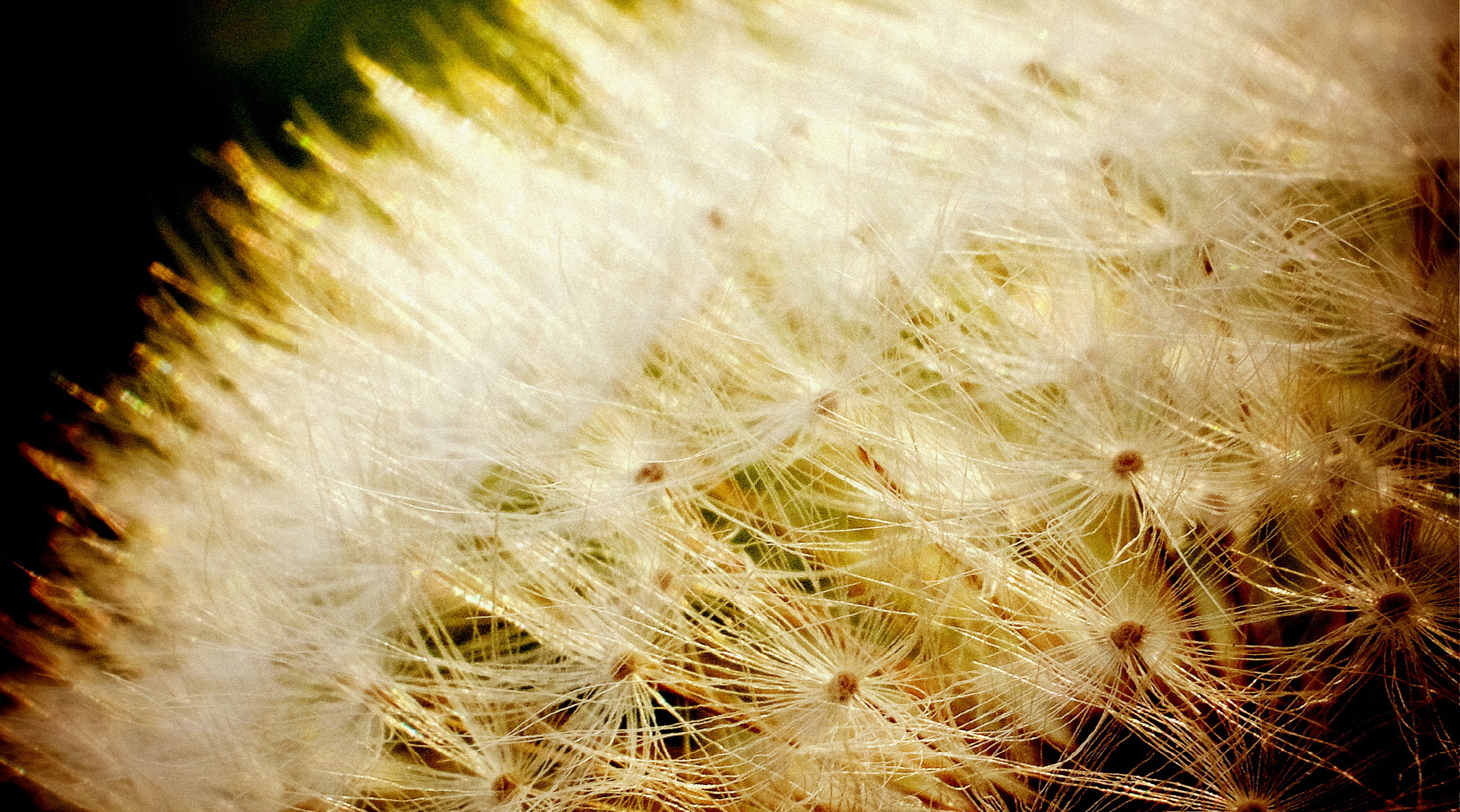 close-up, fragility, softness, white color, vulnerability, plant, dandelion, flowering plant, flower, freshness, nature, growth, no people, beauty in nature, backgrounds, seed, macro, selective focus, extreme close-up, dandelion seed, soft focus, black background
