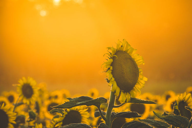Agriculture Beauty In Nature Close-up Field Flower Flower Head Flowering Plant Fragility Freshness Growth Inflorescence Land Nature No People Plant Pollen Sky Springtime Sunflower Sunset Vulnerability  Yellow