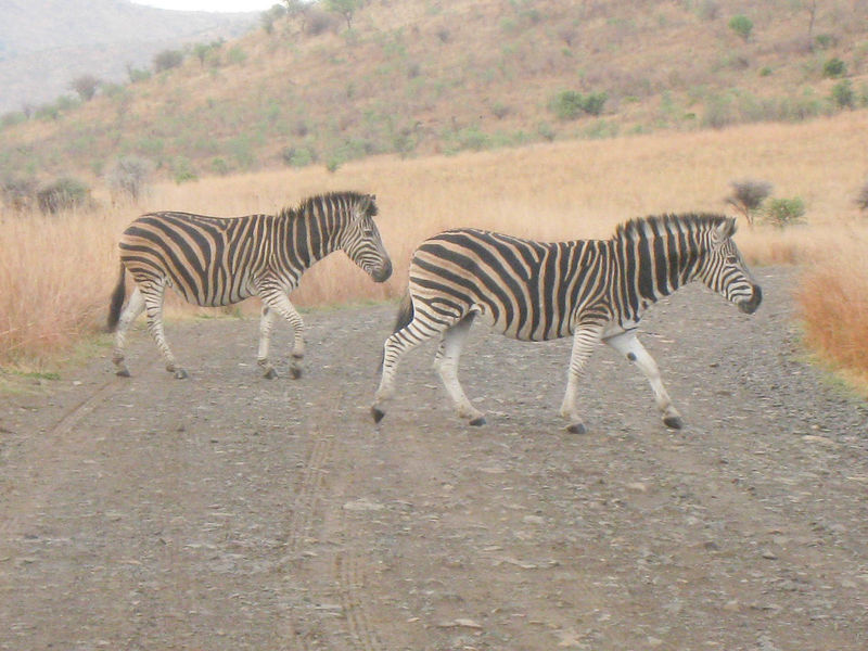 Real Zebra Crossing in a National Park in South Africa Animals In The Wild Beauty In Nature Canon Day Dry Grass Dry Grasses Dry Leaves Nature No People Outdoors Rural Roads South Africa Striped Two Zebras Zebra Zebras