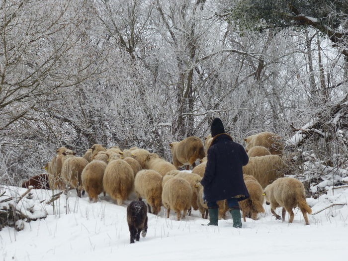 Winter Farming Domestic Animals Farming Large Group Of Animals Sheep Sheep And Shepherd Winter Pasture Winter Shheep Flock