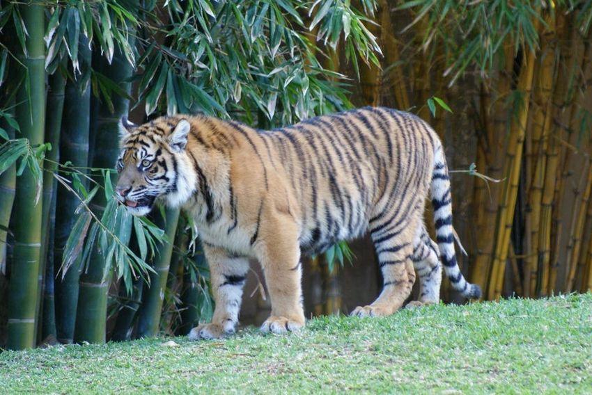 Tiger in Steve Irwins Australia Zoo