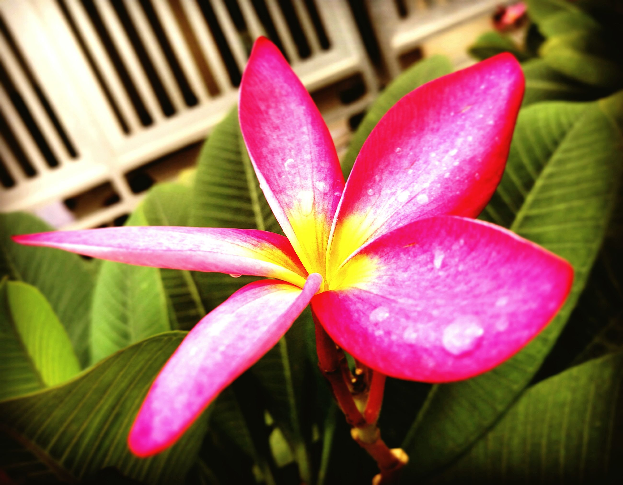 flower, growth, close-up, pink color, freshness, fragility, season, springtime, in bloom, petal, beauty in nature, plant, blossom, leaf, nature, flower head, botany, focus on foreground, vibrant color, selective focus, single flower, softness, pink, focus, soft focus, purity, frangipani, green, day, outdoors