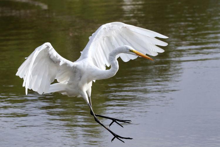 Close-up of great egret landing on lake
