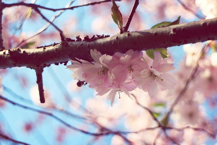 Your Art Is Portable With Caseable Sakura Spring Cherry Blossoms Spring is finally here, yay!!!!