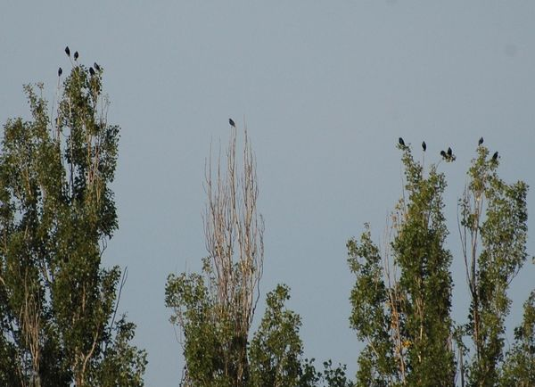 Green And Blue Nature Poplars Springtime Starlings Trees