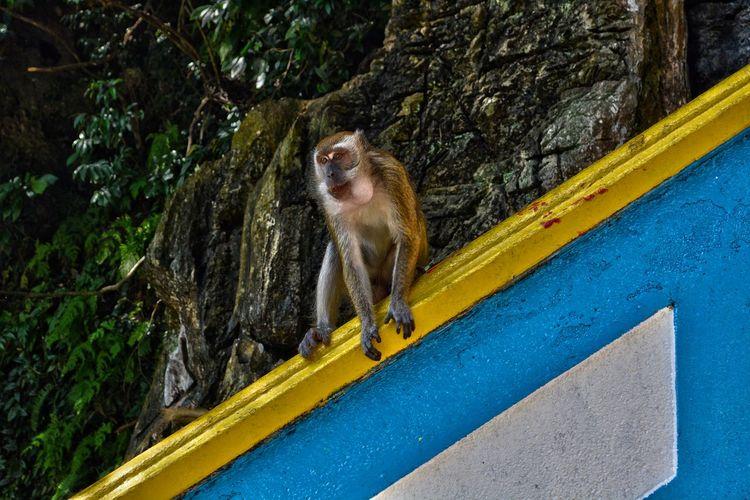 Monkey in batu caves