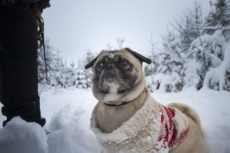 Dog (pug) with ringlet - pullover goes Walk in the snow-covered winter wood Big Eyes Funny Pug Animal Clothes Cold Temperature Cord Pullover Depth Of Field Dog Dog Pullover Dogs Clothes High Snow Leash Protection Pullover Ringlet Pullover Sniff The Air Snow Snowflakes Snowy Clothes Snowy Landscape Snowy Scenery Standing Unknown Man Winter Winter Forest Shades Of Winter