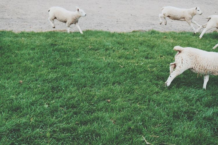 Sheep On Grassland