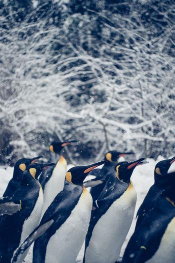 Zoo Animals  Zoo Zürich Penguins Snow Group Of Animals Winter Cold Temperature Nature Walking Zürich Outdoors Penguin Bird