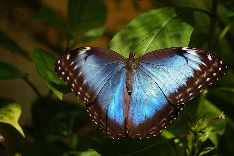 Animal Themes Beauty In Nature Blue Butterfly - Insect Green Color No People Plant Zoology