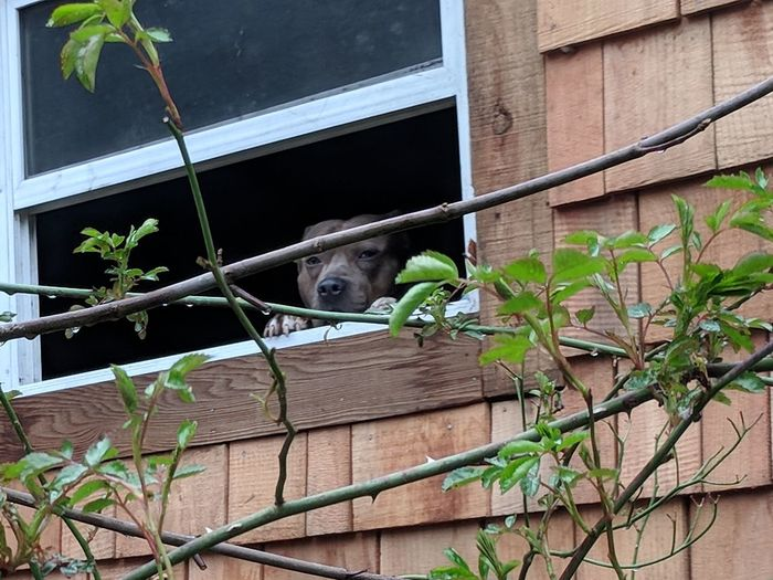 can I come out and play Rose Vine Shingle House Restoration Cedar Shingles Pitbull Brindle Pitbull Male Dog Life Roof Factory Balcony Window Box Growing Vine Residential Structure Human Settlement Window Sill