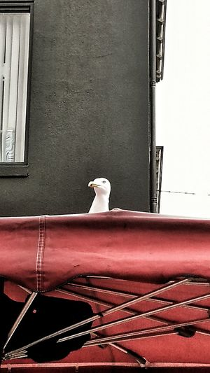 Seagull Looking