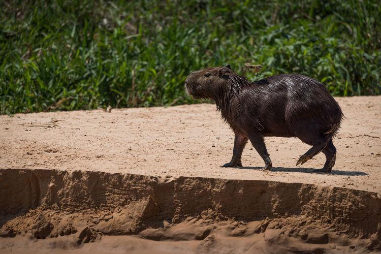 View of a capybara
