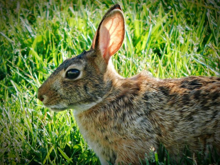 One Animal Animal Themes Close-up Looking Away Side View Animal Head  Mammal Brown Animal Green Color Alertness Watching Curiosity Rabbit Wild Rabbit Wild Bunny Bunny  Brown Bunny Brown Rabbit Animals In The Wild Nature Beauty In Nature Zoology No People
