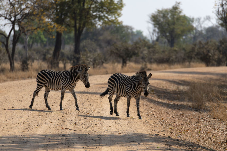 Two zebras on the road