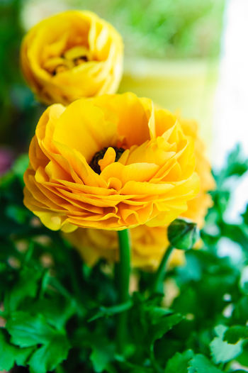 Close-up of yellow flower blooming