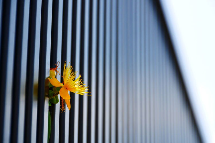 Low angle view of yellow flower stuck on railing