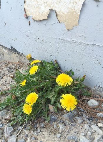 Bloom where you are planted 😊 Motivational Inspirational Yellow Dandelions Spring In Bloom IPhoneography