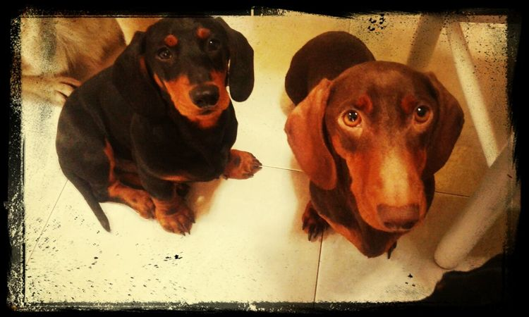 Eros & Milka Dachshund I Love My Dog Dog