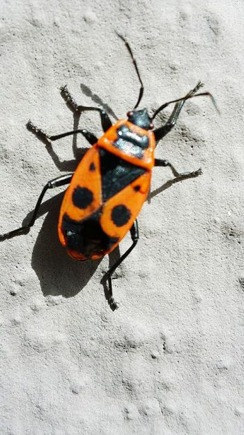 No People Day Outside Feuerwanze Shadow Insect High Angle View Animal Themes Close-up Bug Beetle Animal Markings