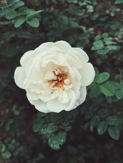 ✨ GOOD N🌹GHT ✨ IPhoneography Flower Collection Blooming Flower Roses🌹 Roses Rose🌹 Rose - Flower Plant Flower Flowering Plant Close-up Beauty In Nature Vulnerability  Fragility Petal Flower Head Growth Inflorescence Freshness Focus On Foreground No People Nature White Color Day Outdoors