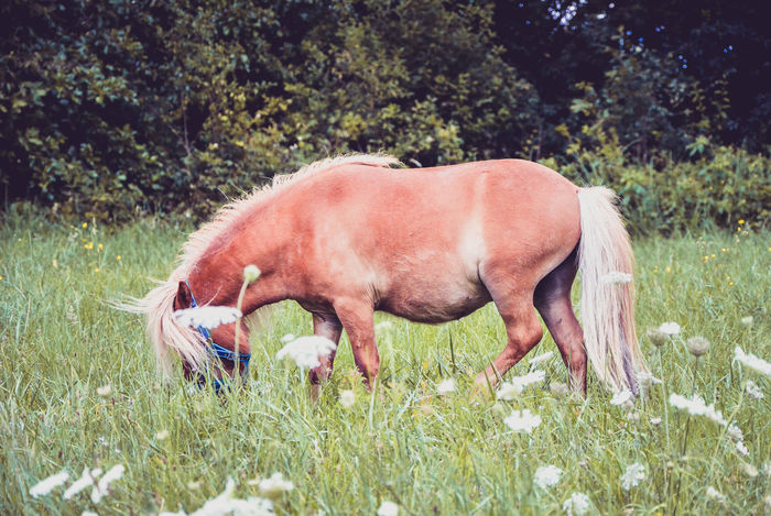 Pony horse on a leash is galloping on the meadow. Shetland Norwegian pony is exercising on green grass with forest in the background. Animal in nature Animal Domestic Animals Excersice Farm Gallop Grass Horse Mammal Meadow Nature Norweigian Pony Shetland Pony