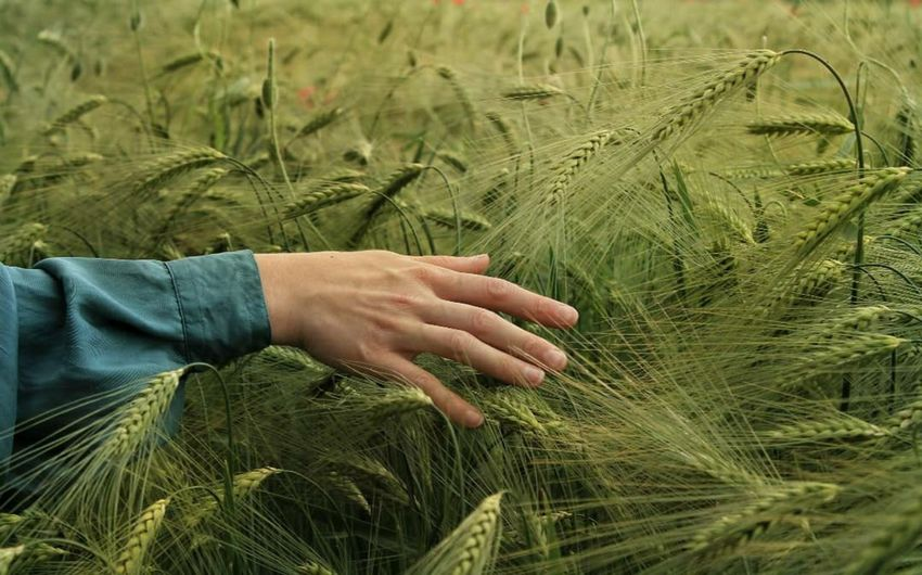 Midsection of man touching wheat plants on field
