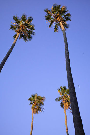 Plant Sky Tree Palm Tree Tropical Climate Growth Tree Trunk Trunk Tall - High Nature Low Angle View Clear Sky Blue No People Beauty In Nature Coconut Palm Tree Day Tranquility Tropical Tree Outdoors Palm Leaf