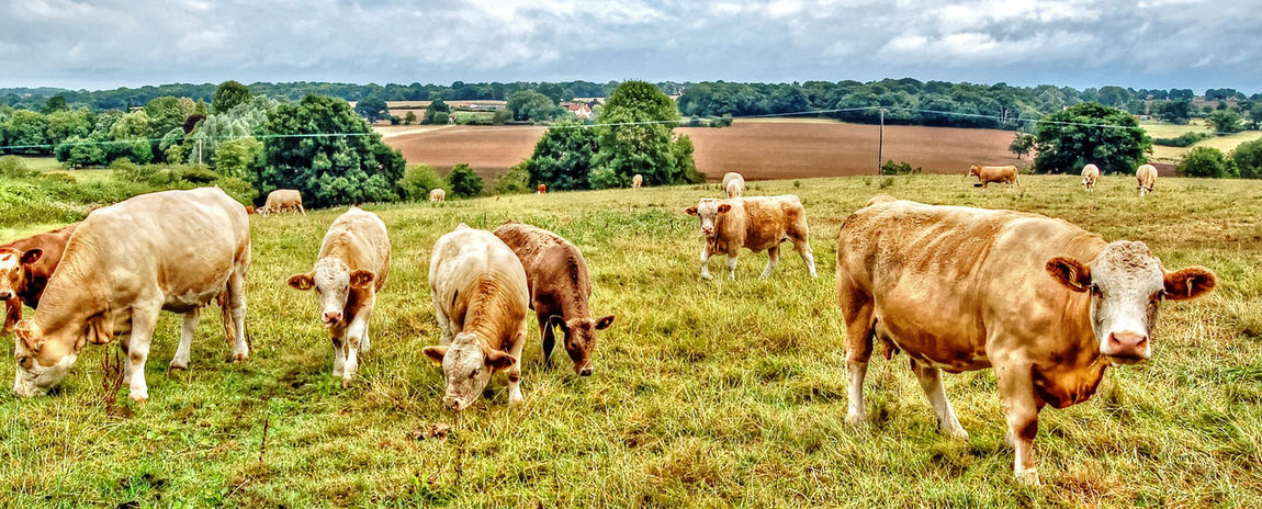 Nature at its best Beauty In Nature Cattle Countryside Cow Domestic Cattle England Farmland Field Fieldscape Grass Grassy Grazing HDR Herbivorous Horizon Over Land Landscape Livestock Mammal Meadow Nature Eyeemphotography Outdoors Pasture Rural Scene Eyeemphoto