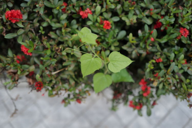 Close-up of small plant with red leaves