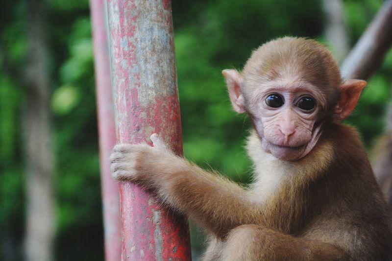 Monkey Mammal Animals Monkey Forest Monkey Temple Monkey Face Baby Nature
